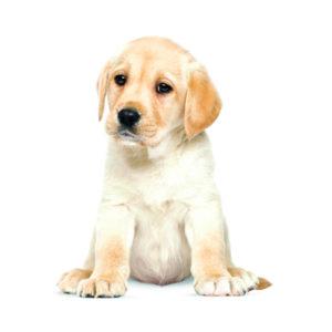 Kek muursticker labrador puppy